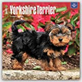 Yorkshire Terrier Puppies 2017 Square