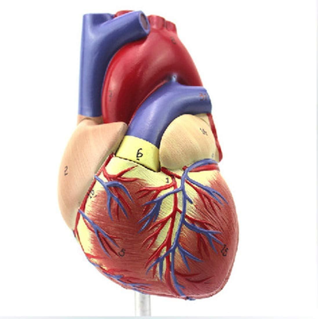 LBYLYH Modelo anatómico del corazón Humano 1: 1, los Colores de la ecografía del corazón, cardiología, la gestión Regalo