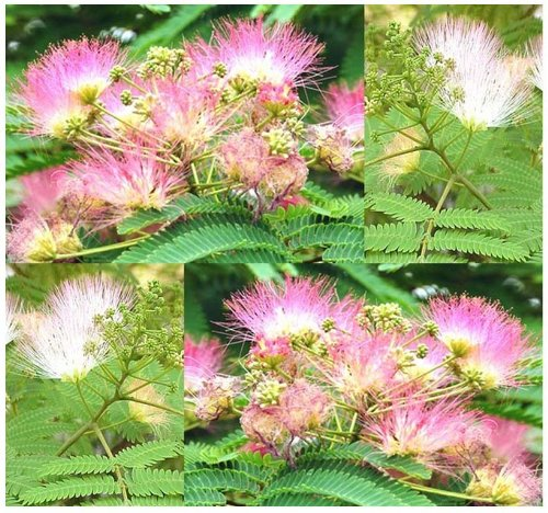 4 Packs x 15 Mimosa Silk Tree Seed - Northern A. julibrissin Seeds - Persian silktree, pink siris - FRAGRANT LIGHT TO DEEP PINK BLOOMS - ZONES 6 - 9 - By MySeeds.Co
