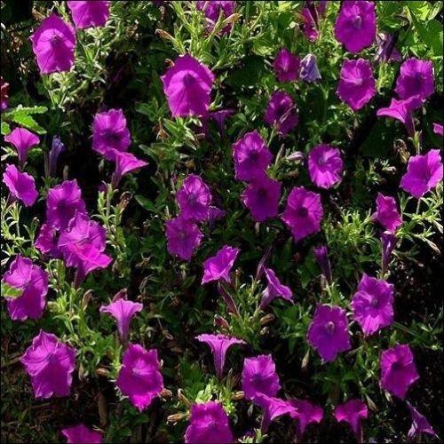 (Petunia Wild Flower Seeds (Petunia Violacea) 100+Seeds)