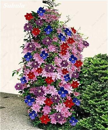 Elenxs 100 unids//Bolsa Clematis Bonsai Semillas de Flores decoraci/ón para la plantaci/ón de jard/ín de su casa