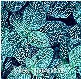 New Fittonia verschaffeltii 100+Seeds - 4