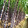 Black Sugar-cane Seeds Rum Syrup Sweet Rock Candy Sugar Crystals 50 Seed