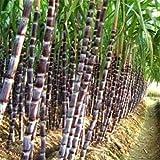 Black Sugar-cane Seeds Rum Syrup Sweet Rock Candy Sugar Crystals 50 Seed