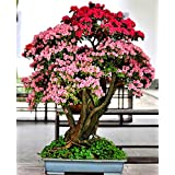 Rhododendron Potted Seeds 50pcs Red Pink Flower Bonsai Seed For Indoor Living Room Home & Garden Potted Plants