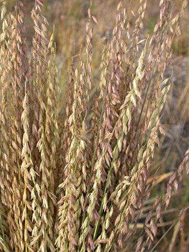 100 SIDEOATS (Mesquite Grass) Bouteloua Curtipendula Ornamental Grass Seeds