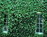 English Ivy (Hedera Helix), Flat of 50