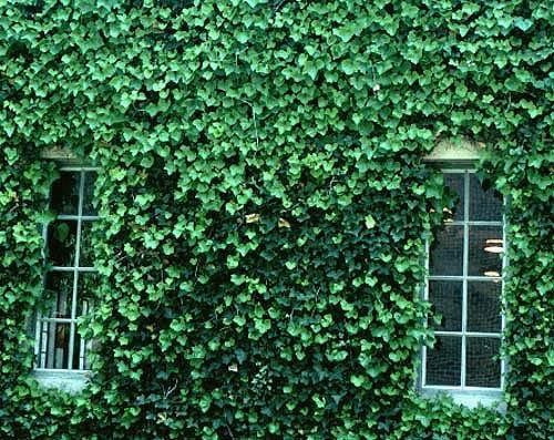 English Ivy (Hedera Helix), Flat of (English Ivy Vine)
