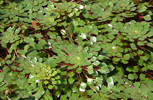 POND PLANT, LUDWIGIA SEDIODES