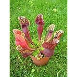 TROPICA - Purple Pitcher Plant (Sarracenia purpurea) - 10 Seeds - Carnivors