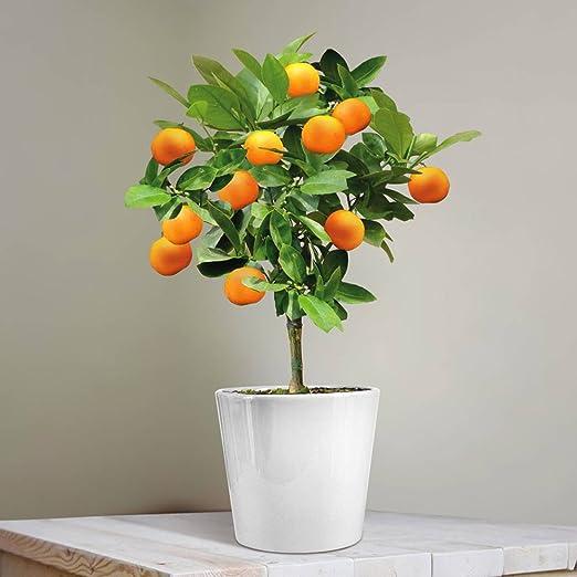 Naranjo enano (25 cm): Amazon.es: Jardín