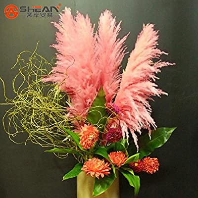 Brand New! Impressive Pink Pampas Grass Grass Seeds Pink Cortaderia Selloana Seeds 500 Pieces / Lot : Garden & Outdoor