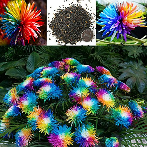 1 Bag 20 Pcs Rainbow Chrysanthemum Seeds-Easy Grow Ungewohnliche Colorful Miniature Tree Flower Planting Seeds Blumen Garden (Rainbow Pumpkin)
