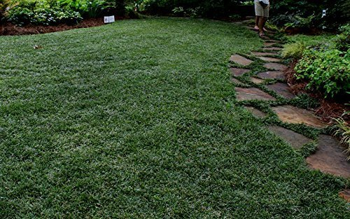 Dwarf Mondo Grass Qty 72 Live Plants Shade Loving Groundcover by Florida Foliage (Image #5)
