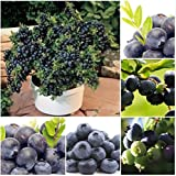The Best Seller 100 Particle/Bag Vegetables And Fruit Seeds BlueBerry Seeds Black Pearl Blueberries DIY Countyard Bonsai Plants Seeds