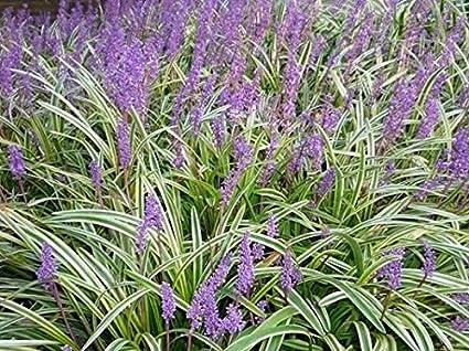 Amazoncom Variegated Liriope Monkey Grass Live Plant Quart