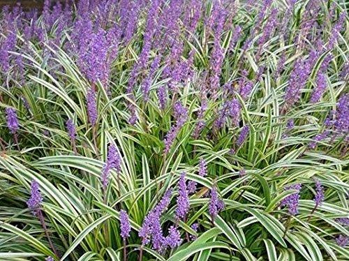 Variegated Liriope (Monkey Grass) Live Plant, Quart Pot (Variegated Garden)