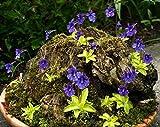 ~ Pinguicula Vulgaris ~ Butterwort Carnivorous ~ Valentine's Flower ~ Rare 10 Seeds