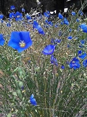 Amazon tall blue flax 100 seeds perennial hardyloves poor soil tall blue flax 100 seeds perennial hardyloves poor soil mightylinksfo