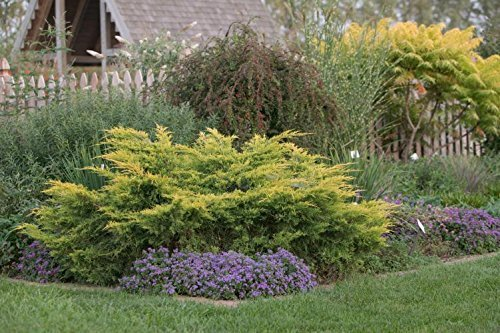 Saybrook Gold Juniper Qty 30 Live Plants Groundcover by Florida Foliage (Image #2)