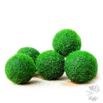 Marimo Musgo Ball X 5 + 1 GRATIS. -Live raro decoración fácil planta.