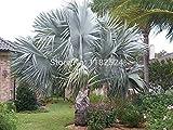 Free Shipping 10+ Bismarckia nobilis - Silver Bismarck Palm - Fresh Seeds