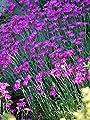Perennial Farm Marketplace Dianthus Magenta Flowers