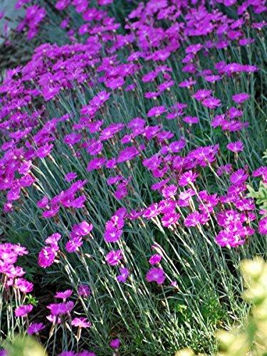 - Perennial Farm Marketplace Dianthus g. 'Firewitch' ((Garden Pinks) Perennial, Size-#1 Container', Magenta Flowers