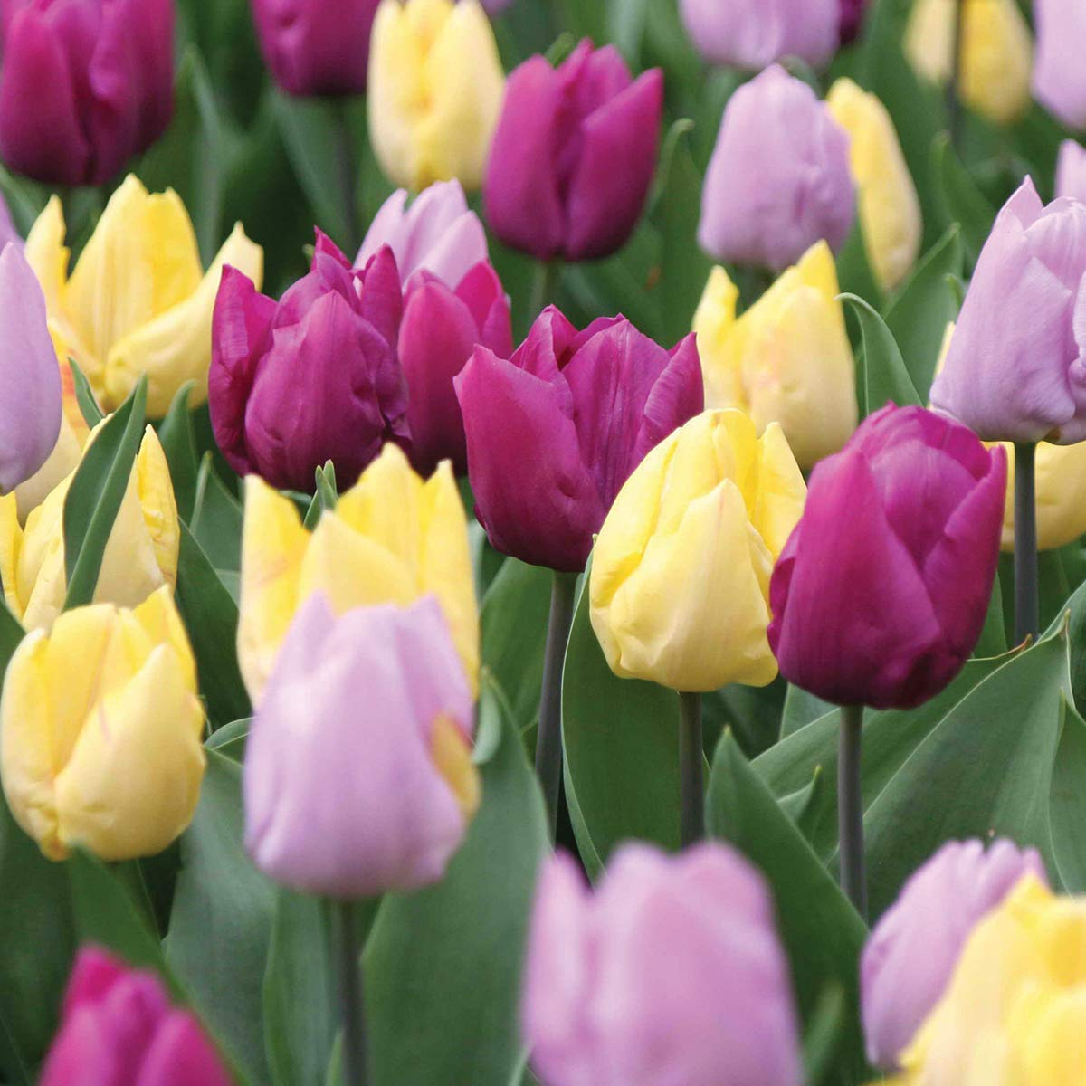 Burpee Early Prince Tulip Mix   15 Large Flowering Fall Bulbs for Planting, Lavender, Yellow & Purple