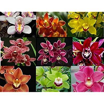 4 Live Cymbidium Orchid Plants t (Cymbidium) : Garden & Outdoor