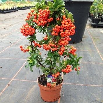 Pack de 3 Pyracantha naranja de celosía (30 cm) Evergreen arbusto ...