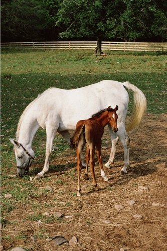 Equine Journal White Mare Chestnut Foal: (Notebook, Diary, Blank Book) (Horse Photo Journals Notebooks - Foal Chestnut