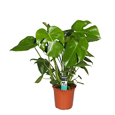 "Split Leaf Philodendron Monstera Edible Fruit Plant Indoor Houseplant Fit 6"" Pot : Garden & Outdoor"