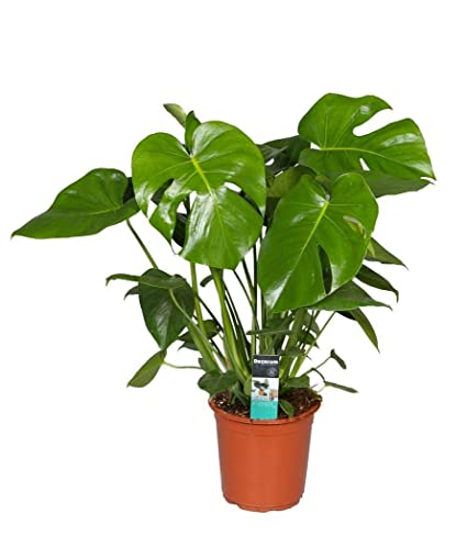 Amazon.com : Split Leaf Philodendron Monstera Edible Fruit ... on names of large trees, names of large flowers, tropical houseplants,