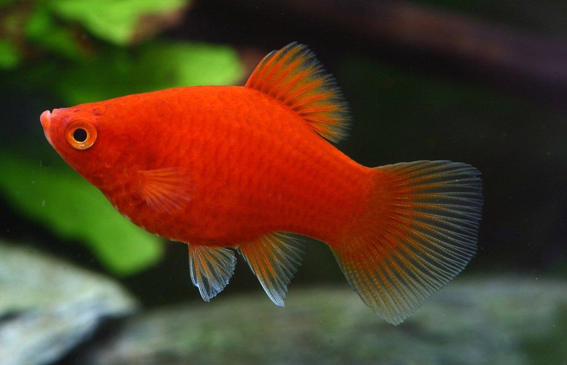 Amazon.com : Platy Coral Mix - Live Tropical Aquarium Fish : Pet ...