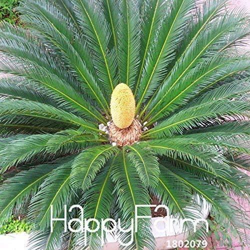 MIYU Hei/ßer Cycas Pflanzensamen Topfblumensamen f/ür Hausgarten Haushaltsgegenst/ände 10 PCS//Lot Cycas Samen,