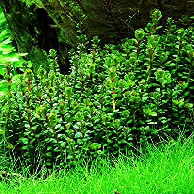 Planterest - Rotala Indica Stems Live Aquarium Plant Bunch BUY2GET1FREE : Garden & Outdoor