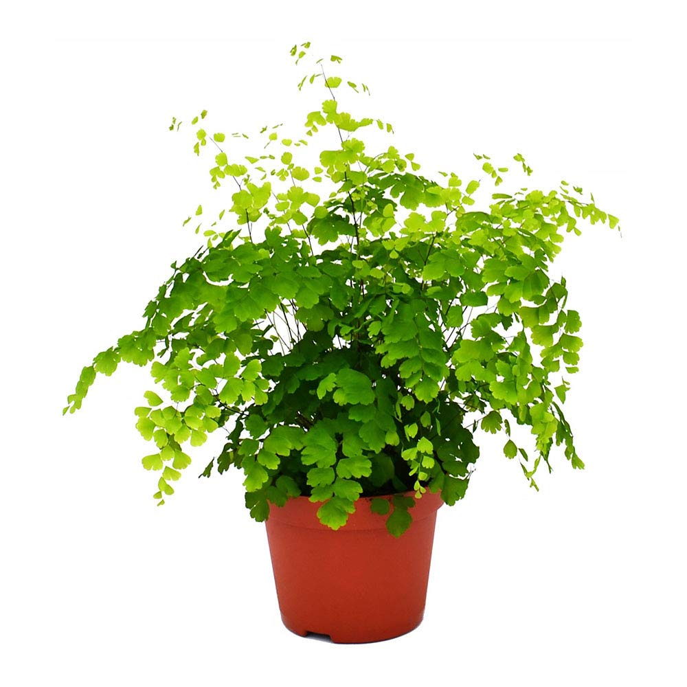 AMERICAN PLANT EXCHANGE Maidenhair Fern Indoor/Outdoor Air Purifier Live Plant, 6'' Pot, Graceful Look!