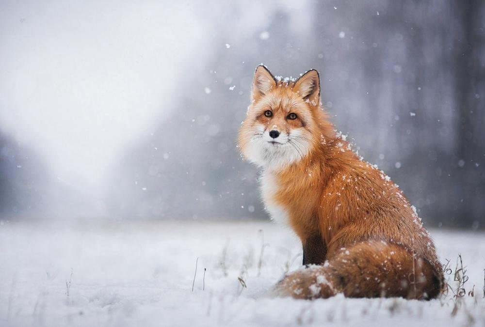 RED FOX SNOWY DAY CANVAS PICTURE PRINT WALL ART HOME DECOR