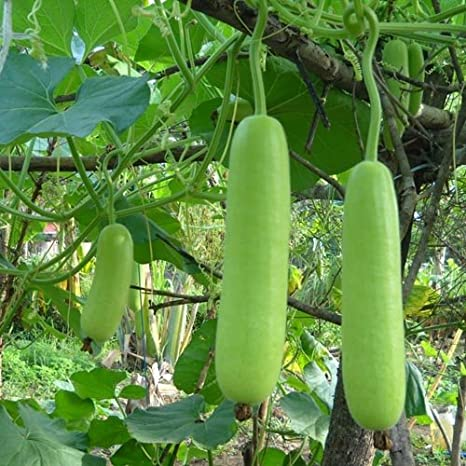 Syed Hybrid F1 Bottle Gourd Lauki Seeds for Kitchen Terrace Poly House Gardening (20 Nos): Amazon.in: Garden & Outdoors