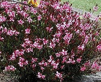 Pack x6 gaura linheimeri gambit pink perennial garden flowering pack x6 gaura linheimeri gambit pink perennial garden flowering plug plants mightylinksfo