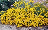 Tagetes lemmonii Mount Lemmon Marigold 10 Seeds