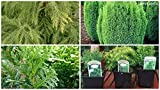 8 PACK, Dwarf conifers mixed plants Garden Shrub in (9CM Pots) evergreen