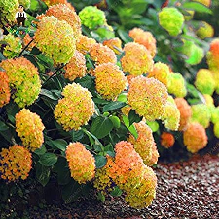 Amazon Com 30pcs Rare Yellow Hydrangea Plants Mixed Hydrangea