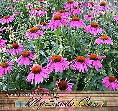 "1oz (6,300+ seeds) PURPLE CONEFLOWER ~6"" LG PURPLE BLOOMS Flower Seeds ~Echinacea purpurea BULK"