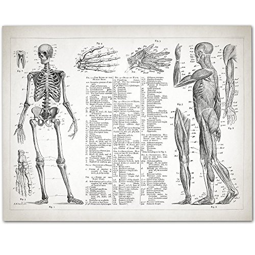 Human Anatomy - Muscular and Skeletal Systems - 11x14 Unframed Art Print - Great Gift for Doctors, Nurses, Nursing Students -