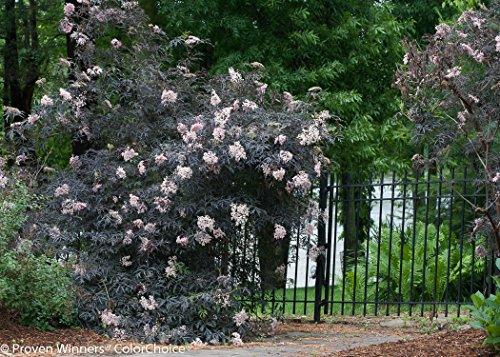 Black Lace Elderberry (Sambucus) Live Shrub, Pink Flowers, 4.5 in. Quart by Proven Winners (Image #8)