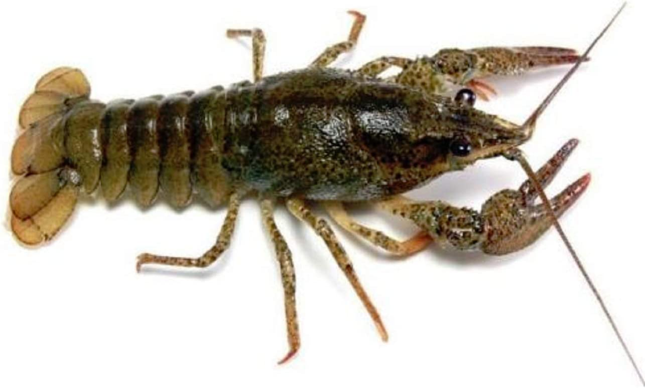 New! Live Crayfish Buy 2 GET ONE Free !!!