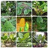 Go Garden BELLFARM Bonsai Heirloom Alocasia Macrorrhiza Green Giant Taro Indoor Elephant Ear Taro Dishlia High Germination -12pcs/Pack