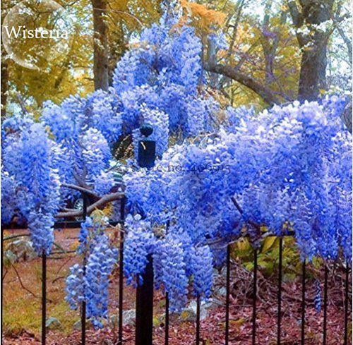 New Heirloom Blue Yard Chinese Wisteria Climbing Plants, 5+ Seeds